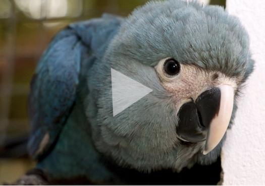 Ararinha-azul: Do deserto do Catar à caatinga brasileira
