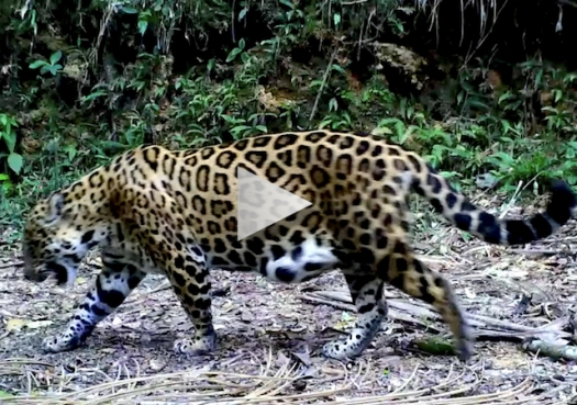 Vídeo de onça com filhotes lança esperança sobre conservação da espécie na Mata Atlântica