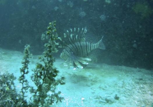Mais um peixe-leão é encontrado no Brasil