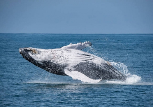 São Paulo entra na rota das baleias jubarte