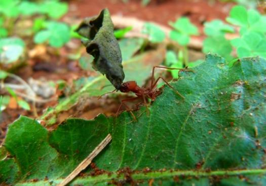 Ciência busca fármacos em formigas