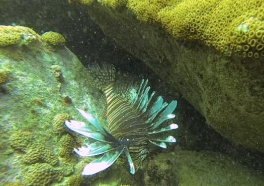 Peixe-leão é encontrado no Brasil