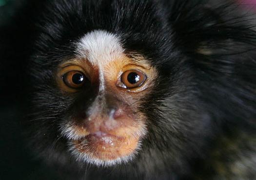 Cientistas acham vírus da zika em macacos
