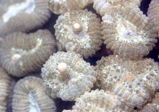 Cientistas buscam reprodução in vitro de corais-cérebro do Brasil