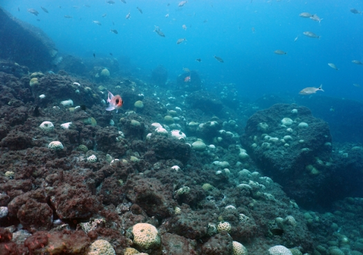 Branqueamento ameaça sobrevivência de corais no litoral paulista