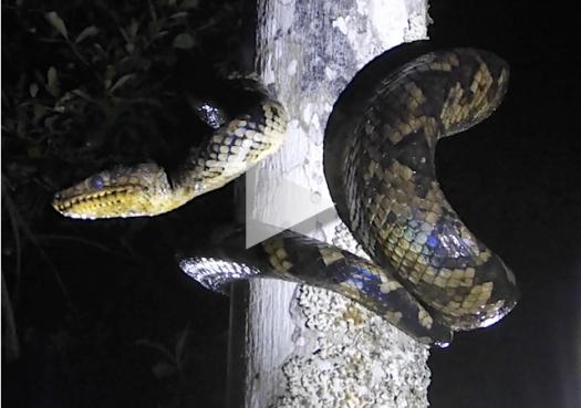 Jiboia-do-ribeira: A cobra escaladora