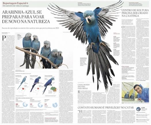 Ararinha-azul se prepara para voar de novo na natureza