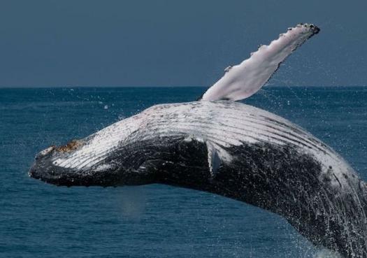 Baleia jubarte se salva da lista de espécies ameaçadas