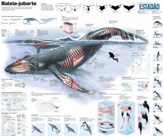 Baleias jubartes do Brasil estão salvas da extinção