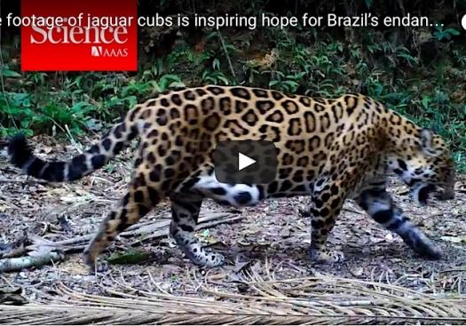 Rare footage of jaguar cubs is inspiring hope for Brazil's endangered cat