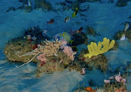 Cientistas garantem: recifes da Amazônia existem, e estão vivos