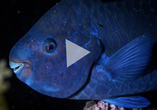 Budião-azul: O jardineiro dos recifes
